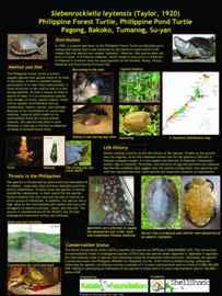 tortugas de bosque de Palawan (Siebenrockiella leytensis)