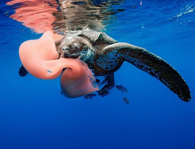 tortuga comiendo un pirosoma