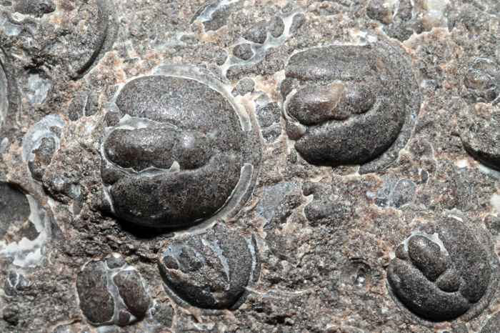 fosiles de Agnostus pisiformis