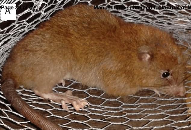 foto de la rata gigante de Vangunu (Uromys vika)