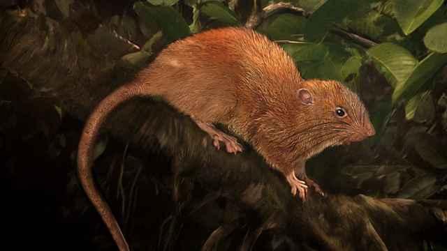 rata gigante de Vangunu (Uromys vika)