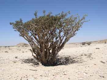 árbol del incienso (Boswellia sacra)