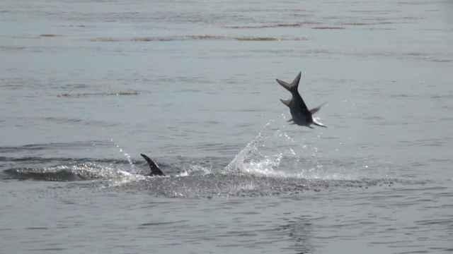 delfín lanza pez al aire
