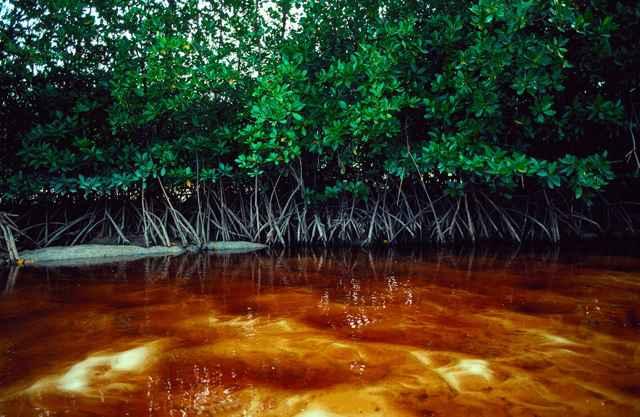 manglar en la Península de Cabo York