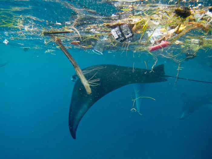manta raya nada entre plásticos