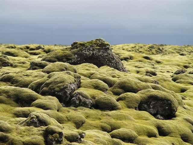 musgo en el campo de lava de Eldraun, Islandia
