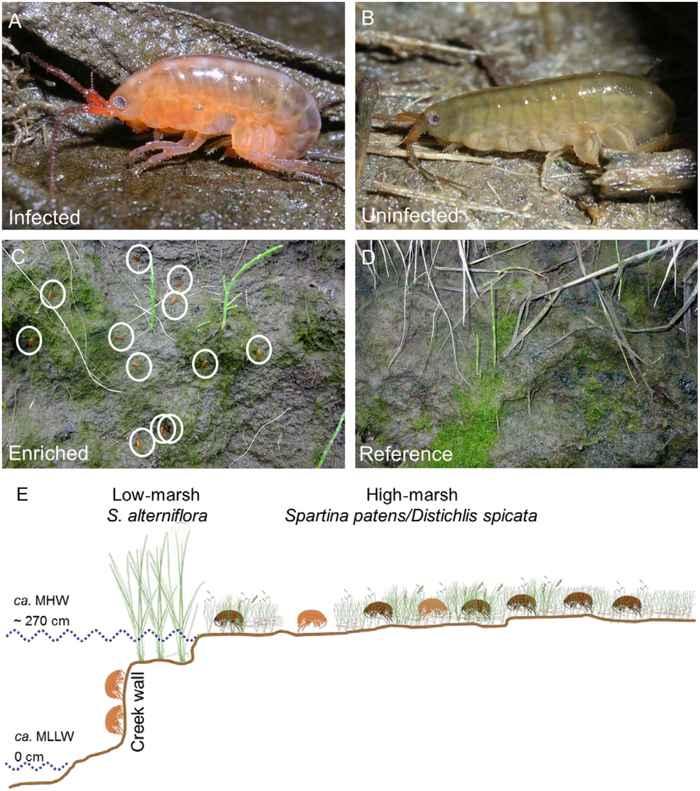 ciclo del anfípodo zombi Orchestia grillus