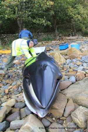ballena minke varada en Escocia