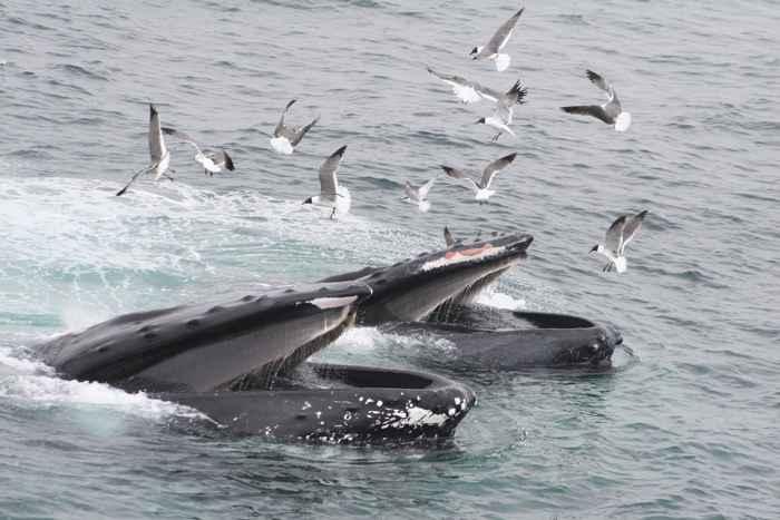ballenas jorobadas con la boca abierta