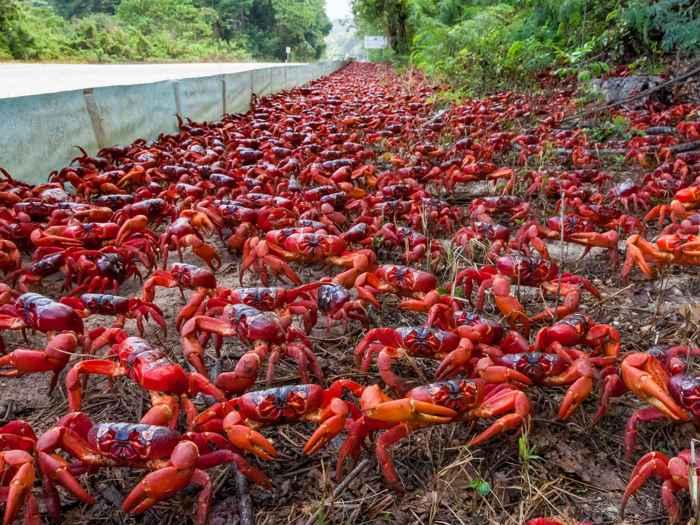 cangrejos rojos de la isla Navidad junto a una carretera