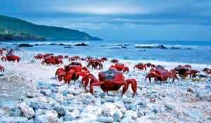 migración cangrejos rojos en la isla Navidad