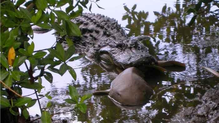 cocodrilo devora a tiburón nodriza