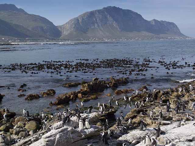 colonia de pingüinos en Stony Point, Sudáfrica