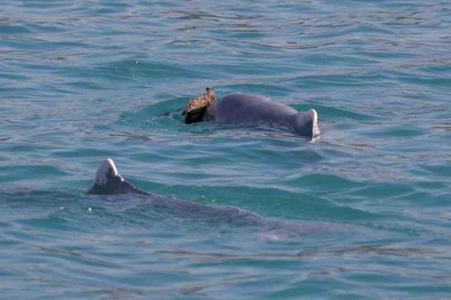 delfín regala esponja a una hembra