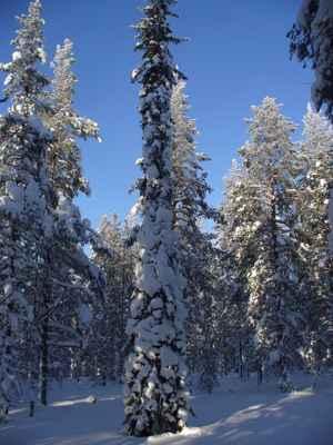 nieve en un bosque boreal