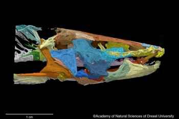 pez satanás (Satan eurystomus), escáner
