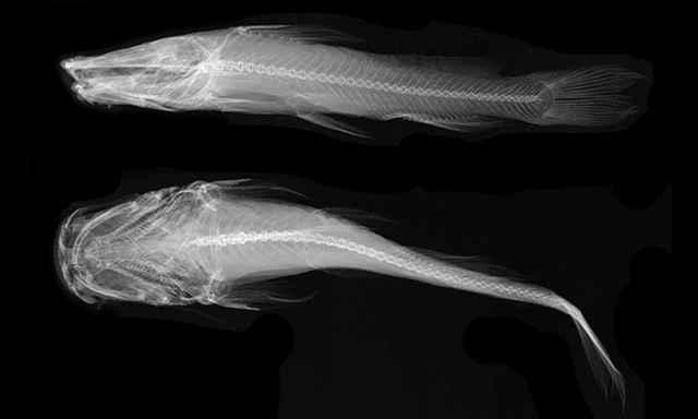 pez satanás (Satan eurystomus)