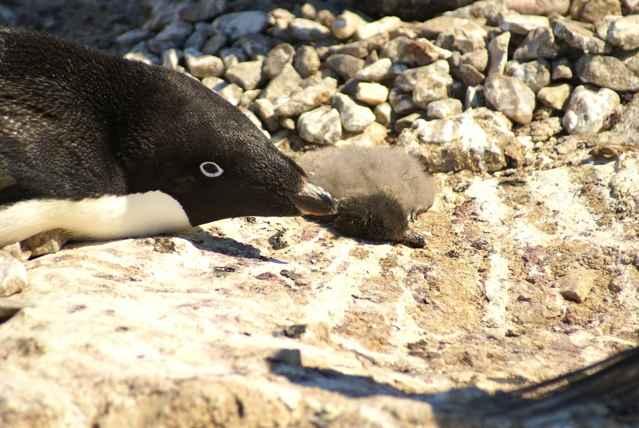 pingüino Adelia con una cría muerta