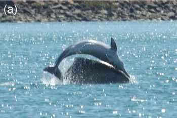 pose de plátano en un delfín