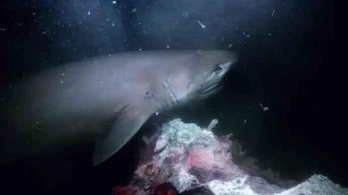 tiburón filmado en Blue Planet II