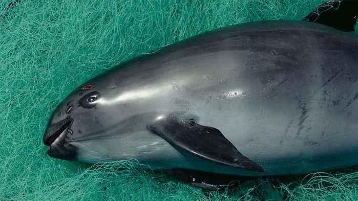 vaquita marina enredada