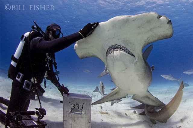 Joe Romeiro y un tiburón martillo