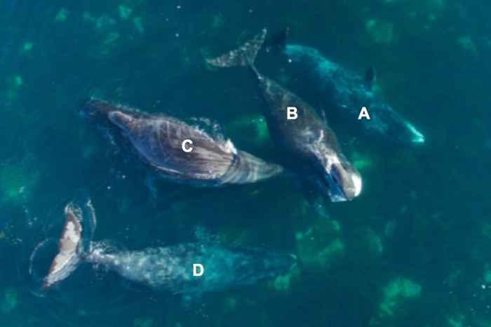 prácticas de exfoliación de ballenas de Grienlandia