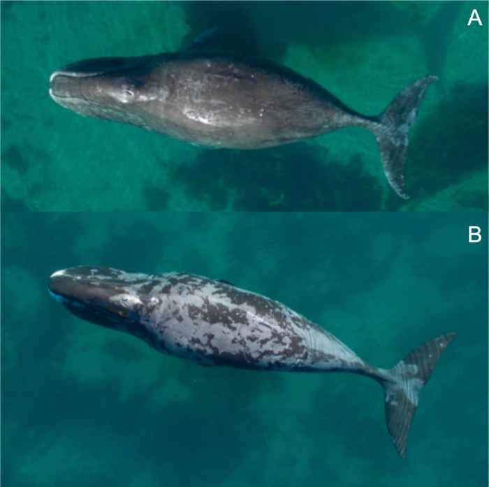 muestra de exfoliación de ballenas de Grienlandia