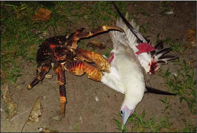 cangrejo de los cocoteros mata a un ave marina