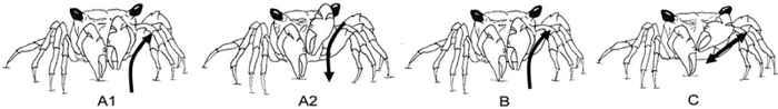 danza del cangrejo de los manglares