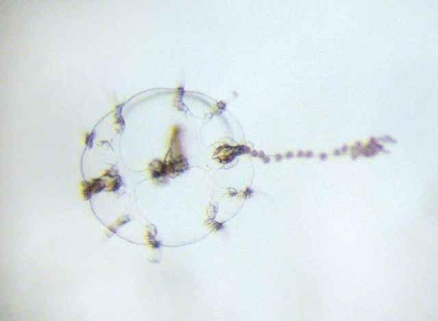 larva de medusa peine