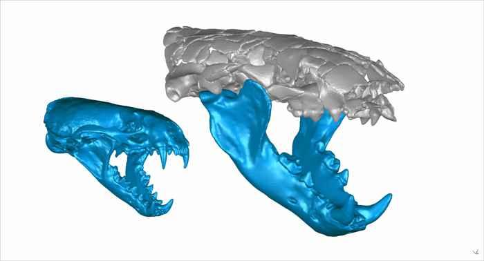 mandíbula de Siamogale melilutra y nutria común