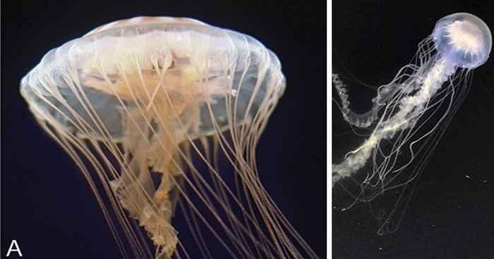 medusas Chrysaora quinquecirrha y chesapeakei