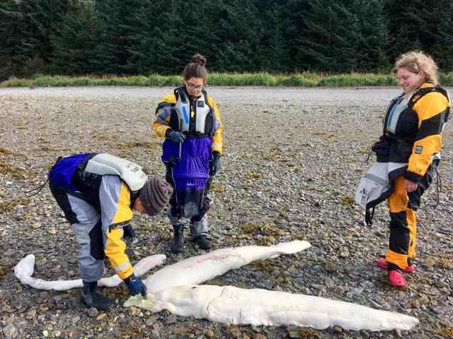 monstruo marino encontrado en Alaska