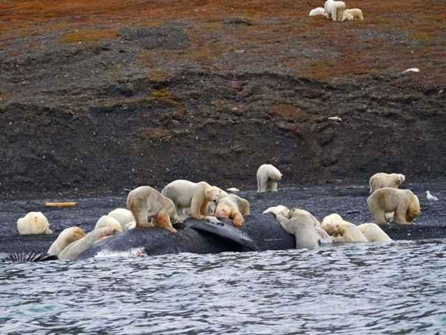 osos polares devoran el cadáver de una ballena