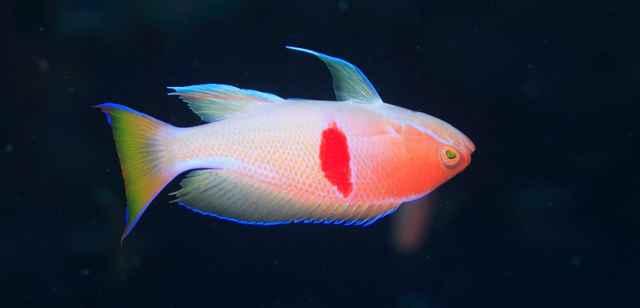 pez bodiano nadando al revés