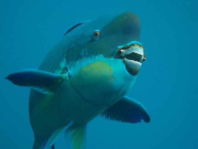 pico del pez loro