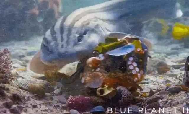 pulpo se protege con conchas contra un tiburón