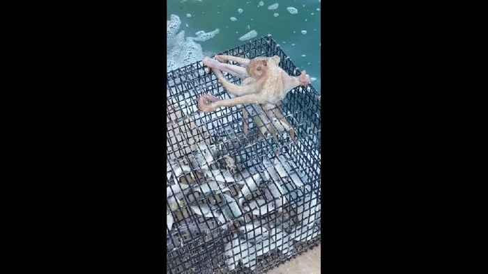 pulpo roba peces de una trampa