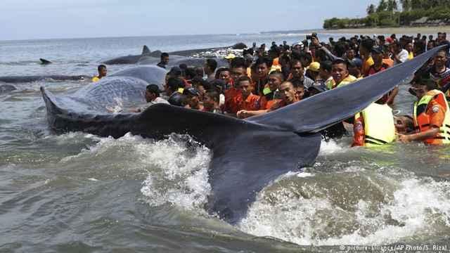rescate de un cachalote en Indonesia