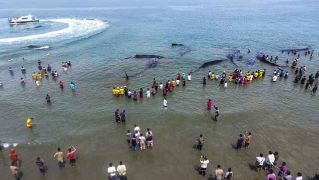 rescate de cachalotes en Indonesia