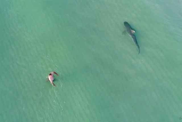 tiburón tigre cerca de un bañista
