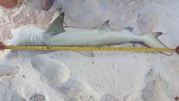 tiburón limón (Negaprion brevirostris)