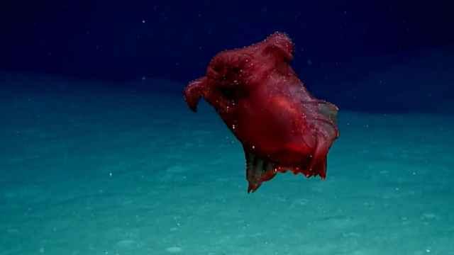 pepino de mar Enypniastes eximia