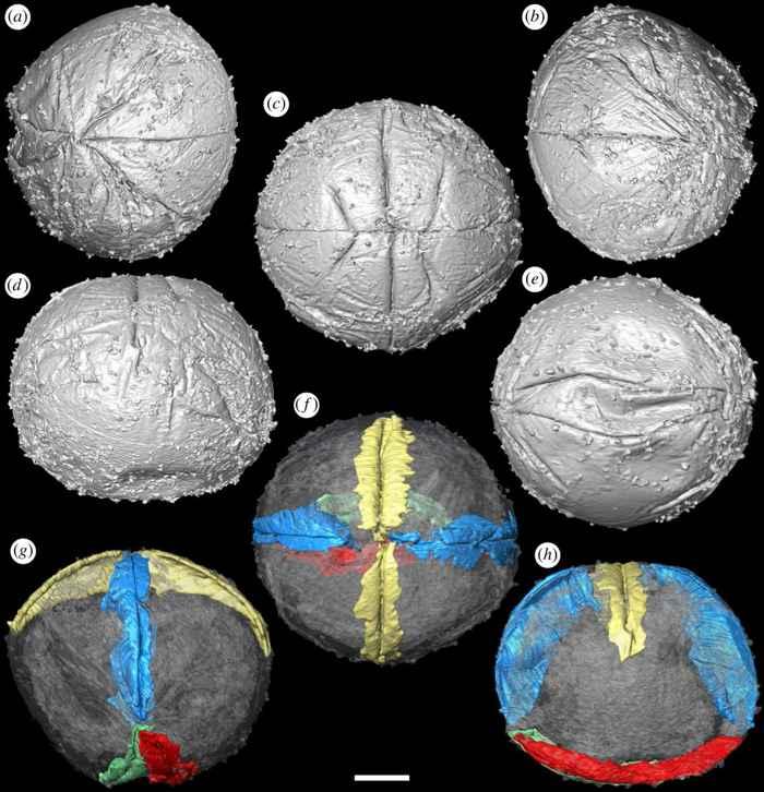 embriones de Pseudooides prima