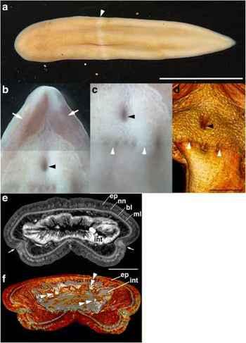 Xenoturbella japonica, morfología