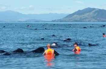 ballenas varadas en Nueva Zelanda