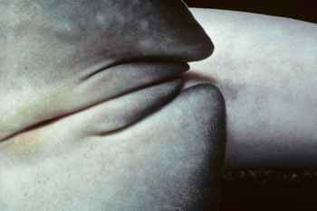 claspers de tiburón intersexual