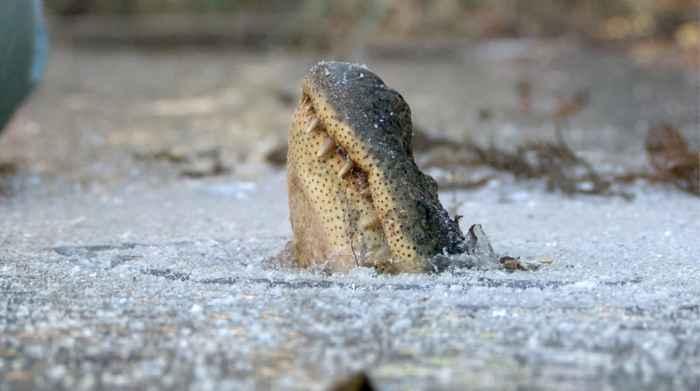 cocodrilo respira a través del hielo