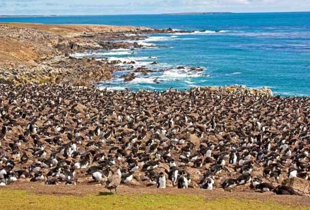 colonia de pingüinos saltarrocas